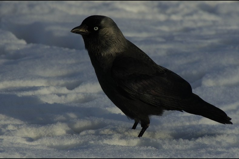 Western Jackdaw